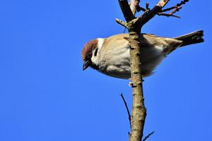 sparrow, sperling, bird